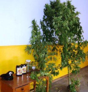 mascalucia-piante-marijuana