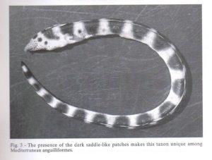 pisodonophis-semicinctus-atlantico