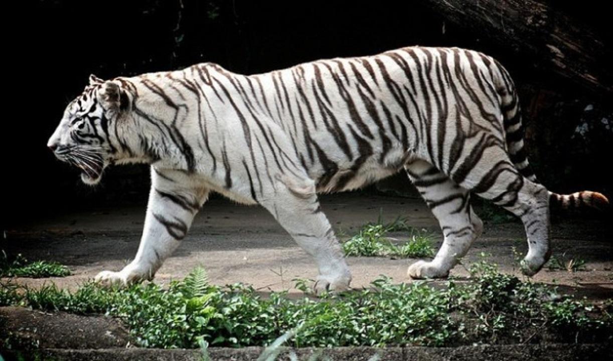 Palermo catturata la tigre bianca fuggita da un circo a for Disegni delle tigri